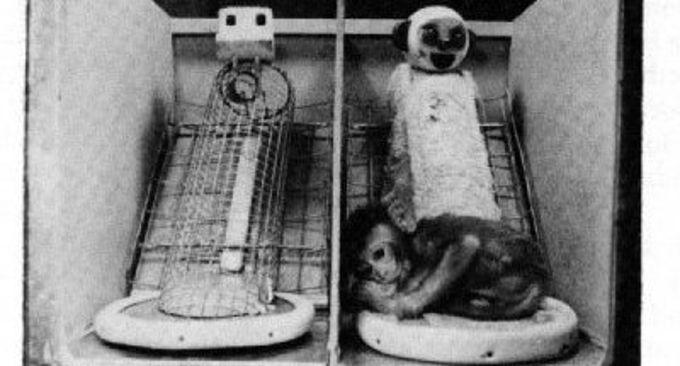 Le scimmiette del dottor Harry Harlow e l'amore materno