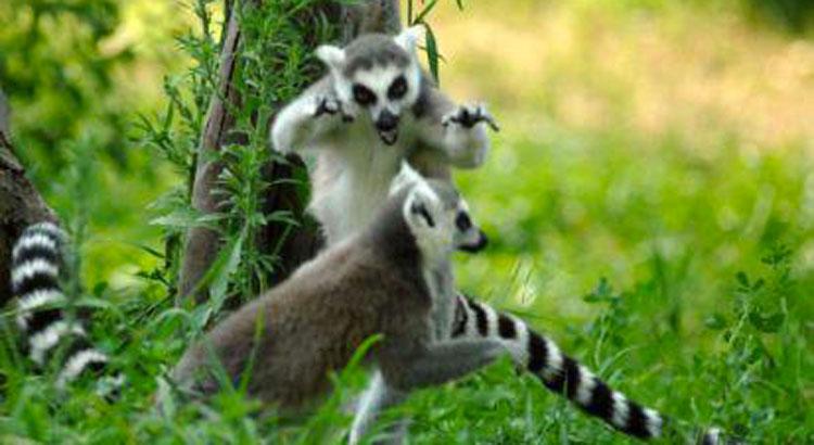 Lemuri del Madagascar – Comportamenti sociologici